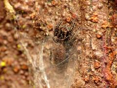 Should I stay or should I go? (treegrow) Tags: newzealand nature lifeonearth raynoxdcr250 arthropoda moana lakebrunner arachnida araneae salticidae