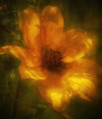 Warm Glow (Southern Darlin') Tags: flower wildflowers autumn yellow orange green glow warm warmth art photography photo texture painterly