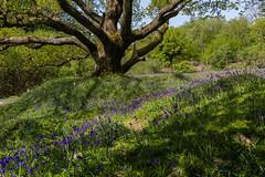 Bluebells by the old oak tree - NK2_5368 (Jean Fry) Tags: bluebells dartmoor dartmoornationalpark devon englanduk nationalparks spring trees uk westcountry woodland bluebellwoods dartmoorwoodland