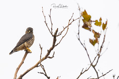 Merlin - Falco columbarius | 2018 - 2 (RGL_Photography) Tags: birds birdsofprey birdwatching falcocolumbarius falcon gardenstate gatewaynationalrecreationarea jerseyshore merlin monmouthcounty mothernature nikonafs600mmf4gedvr nikond5 ornithology pigeonhawk raptors sandyhook us unitedstates wildlife wildlifephotography ©2018rglphotography