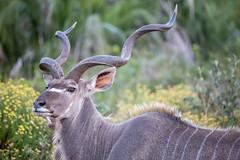 IMG_3033_Grand_Koudou (fredericmartinon) Tags: stluciapark kwazulunatal afriquedusud za kudu antilop