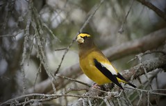 Evening Grosbeak (m) (hd.niel) Tags: eveninggrosbeak grosbeaks finches nature birds wildlife photography kingstonontario migrating songbirds trees shade male autumn
