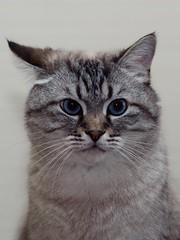 PA270510 (Vladimir V. Samoylov) Tags: 75mm animals cat e5markii mzuiko75mmf18 m43 micro43 microfourthirdsmicro43 olympus omd μ43
