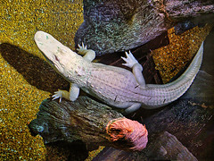 Newport Aquarium 06-15-2018 87 - Albino American Alligator HDR (David441491) Tags: albino white alligator newportaquarium reptile