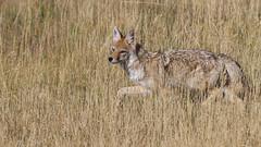 Coyote (Bill G Moore) Tags: naturephotography wild wildlife animal coyote grass canon laramie wyoming