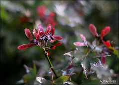 Red Maple... (angelakanner) Tags: canon70d 50mmlens garden longisland closeup bokeh
