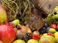wild house mouse with wild picked fruits nuts and berries Autumn display (2) (Simon Dell Photography) Tags: mouse nature wildife wild free garden mice animal rodent cute funny seasonal autumn fall season winter colors pumpkin conkers horse chestnut fruits berries bounty log pile george house halloween fright night 13th friday fun simon dell photography sheffield s12 hackenthorpe