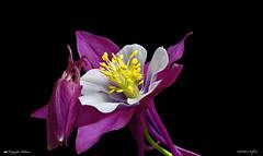 I COLORI DELLA NATURA. (Salvatore Lo Faro) Tags: fiore bianco giallo verde amaranto pistilli natura nature milano lombardia italia salvatore lofaro nikon 7200