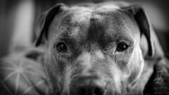(Ryan_Gabriel) Tags: dogs pitbull animals blackandwhite
