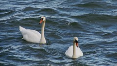 Together (docwiththecamera) Tags: sony couple north nature autumn water sea bird swan pair