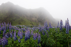 Purple Invasion (Dani℮l) Tags: iemand lupine plant mist rich mountain atmosphere vegetation nature island overcast rain