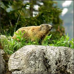 Alpine marmot (Soeradjoen) Tags: alpinemarmot alpenmarmot alpenmurmeltier marmotte dier beest animal nature natuur alps alpen
