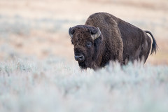 Yellowstone Bison (Adrien S.M) Tags: bison yellowstone yellowstonenationalpark