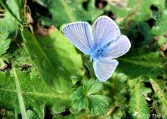 Azuré bleu céleste 04 (Jean-Daniel David) Tags: insecte insectevolant papillon azuré azurébleucéleste bokeh réservenaturelle nature herbe feuille vert verdure pelouse bleu grosplan closeup suisse suisseromande vaud cossonay