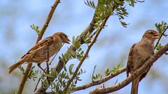 Sparrows (sgnelson2) Tags: bird sparrow desert arizona botanicalgarden