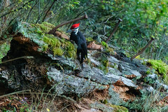 DSC00765 (andreavarju) Tags: bird birds birdphotography woodpecker pileated