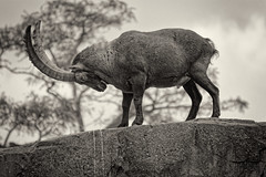 Battle Position (Alfred Grupstra) Tags: animal nature mammal wildlife outdoors horned animalsinthewild sheep nopeople blackandwhite capricorn