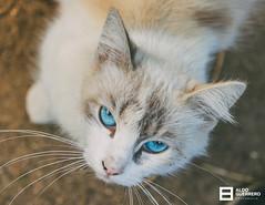 Artemisa (Aldo Guerrero) Tags: cat gato mascota pet eyes blue blueeye color animal bluetiful artemisa