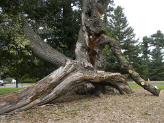Bender Oak - Fallen (MadKnits) Tags: green plants growing fall morrisarboretum tree