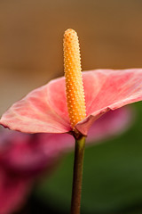 Anthurium Macro 3-0 F LR 9-29-18 J078 (sunspotimages) Tags: flower flowers anthurium anthuriums pink pinkflower pinkflowers pinkanthurium pinkanthuriums nature