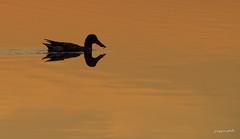 Sundown duck (Jongejan) Tags: sunset sundown duck bird shoveler nature outside outdoor wildlife birding water lake