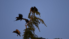 _DSC6882 (markhoogster) Tags: starlings dusk