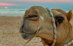 10003482.jpg (KevinAirs) Tags: camels camel kevinairs ocean sunset travel westernaustralia ©kevinairswwwkaozcomau sand sky landscape landscapes beach australia sea