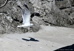 "... "" - Here I come !! "", says Jonathan ... (ChristianofDenmark) Tags: christianofdenmark copenhagen denmark flakfortet summer seagull jonathan"