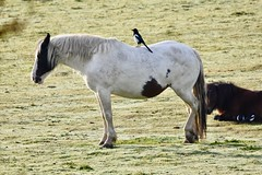 Giddy up! (pstone646) Tags: horse animal animals bird magpie perched nature fauna wildlife equine ride ashford kent field
