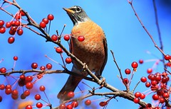American robin at Lake Meyer Park IA 653A4358 (lreis_naturalist) Tags: american robin lake meyer park winneshiek county iowa larry reis