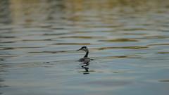 Grebe minimalism (PChamaeleoMH) Tags: birds fauna wimbledonpark greatcrestedgrebe