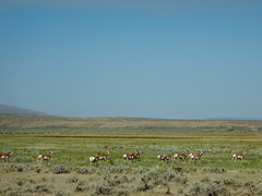 Pronghorns (johnrinker) Tags: gdmbr cycling bikepacking bicycle touring alberta britishcolumbia montana idaho wyoming colorado new mexico rocky mountains canada usa newmexico rockymountains continentaldivide wilderness rivers