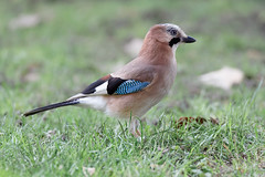 a Jay (1/2) (Franck Zumella) Tags: bird jay geai leaves ground eat eating manger sol blue bleu nature animal oiseau wildlife winter hiver