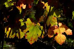 controluce (♥iana♥) Tags: vino uva grape vendemmia autunno autumn fall rosso red vite vigna grapevine montemarano avellino campania italia