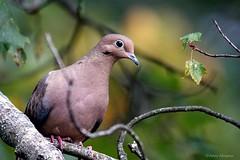 Mourning Dove (Anne Ahearne) Tags: wild bird animal nature wildlife pretty dove mourningdove tree bokeh songbird birdwatching