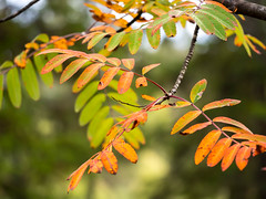Autumn leaves with beautiful colours (Unni Henning (also Instagram @unnikarin59)) Tags: leaves autumn colourful tree forest vestfold norway nature outdoor plant ash orange macro closeup bokeh blue sky green