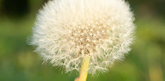 _DSC0323 (finn.and.storr) Tags: fragility vulnerability dandelion flower flowering plant closeup focus foreground beauty nature freshness growth inflorescence no people day head softness white color outdoors seed