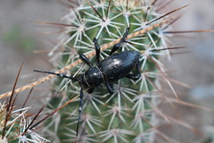 Beetle and Cactus (sgnelson2) Tags: insect desert cactus beetle