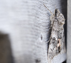 camouflage (niro68) Tags: moth camo camouflage