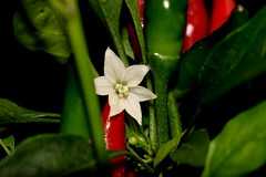 The last flower (jano45) Tags: flower peppers hotpeppers chilli