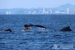Calf, mother and escort whale (Sea World Whale Watch) Tags: seaworldwhalewatch seaworldwhalewatching seaworld seaworldcruises sea humpbackwhales humpbackwhale humpback humpbacktailflukes humpbacktailfluke humpbackwhaletail whalewatching whalewatchinggoldcoast whalewatchingtoursaustralia whaletail whale breach breaching breachingwhale whalebreach whalebreaching tailflukes tailfluke tail tailslap tailslash tailslapping motherandcalf mother calf goldcoast goldcoastwhalewatching goldcoastwhalewatchingtours goldcoastwhalewatch goldcoastskyline australia adultwhales