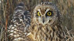 October Already? (photosauraus rex) Tags: owl vancouver bc canada bird shortie