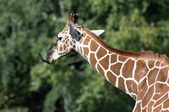 Somalische giraffe - Somali giraffe (Den Batter) Tags: nikon d7200 zooparc overloon giraffe somalischegiraffe netgiraffe somaligiraffe giraffareticulata