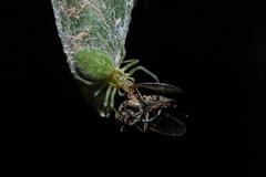 Nigma walckenaeri - putting out the trash.  Arachtober 3 (Procrustes2007) Tags: spider nigmawalckenaeri arachnid dictynidae nikond50 sudbury suffolk macro