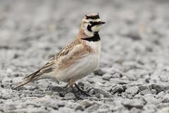 Horned Lark / Alouette hausse-col (shimmer5641) Tags: eremophilaalpestris hornedlark alouettehaussecol alondracornuda birdsofbritishcolumbia birdsofnorthamerica