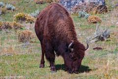 The Buffalo (pohlenthe49er) Tags: usa wyoming yellowstone nationalpark bison buffalo