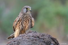 Cernícalo vulgar (Hembra) (Sento74) Tags: cernícalovulgar falcotinnunculus nikond500 tamron150600g2 aves birds fauna rapaces