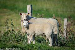 Schaf mit Lamm aufgenommen in Dänischenhagen in Schleswig-Holstein - Sheep with lamb photographed in Dänischenhagen in Schleswig-Holstein (klausmoseleit) Tags: schleswigholstein deutschland dänischenhagen herbst orte jahreszeit säugetiere schafe tiere amtdänischenhagen de