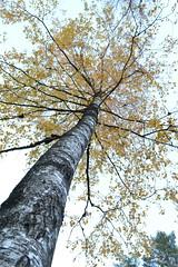 Björk (staffan.jansson) Tags: nature sverige birch björk autumn höst sweden skandinavia