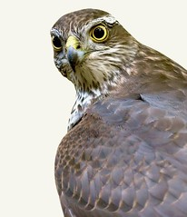 Sparrow hawk (davy ren2) Tags: prey d500 nikon nature post photograthy wildlife station feeding